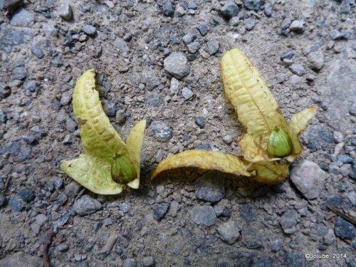 Carpinus betulus. Rumanía, Dobrogea